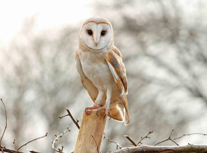 Return of the barn owl
