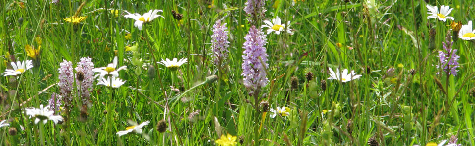 orchids meadow