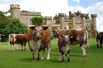 Knepp Castle and its Longhorns