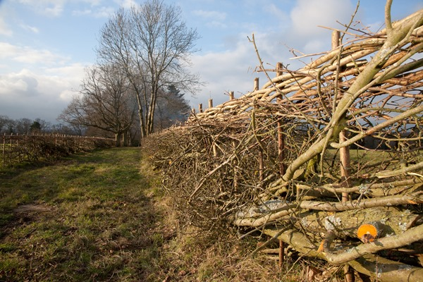 hedgelaying 2