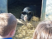 Icklesham_pigs_LS_small