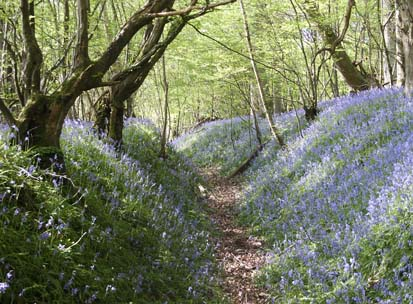 routeway_bluebells