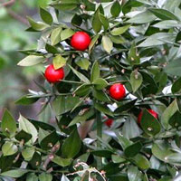 butchers_broom