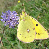 clouded_yellow