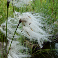 cotton_grass