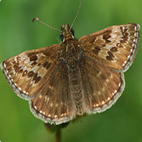 dingy_skipper