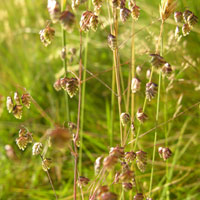 quaking_grass