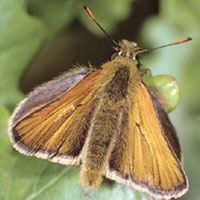 small_skipper
