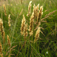 sweet_vernal_grass