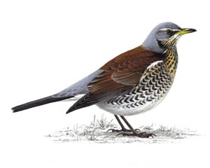 Listen for Fieldfares