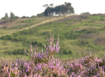 Ashdown heather clump