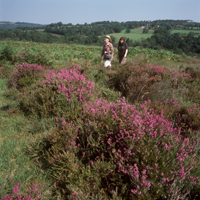 walking_heather_Ashdown_Forest